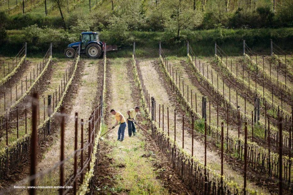 vineyards at Chiesa del Carmine
